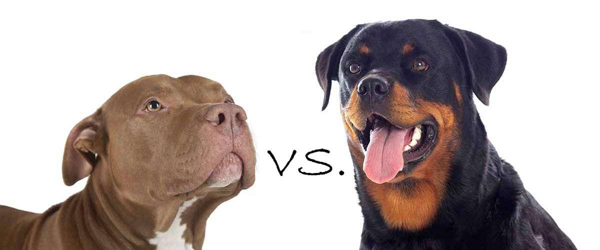 Rottweiler or Pitbull