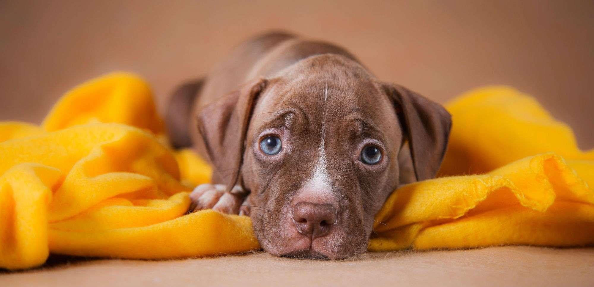 best dog food for pit bulls
