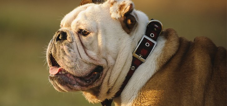 best dry dog food for English bulldogs