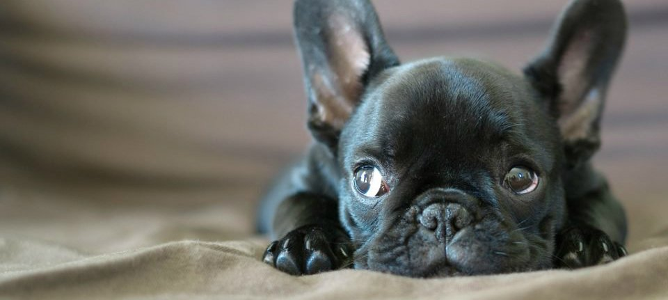 best food for French bulldog with sensitive stomach
