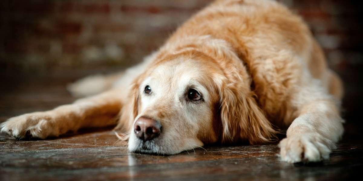 best pet insurance for older dogs