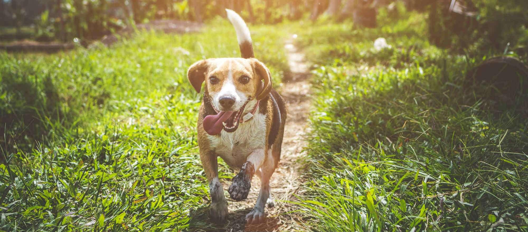 should I get a Beagle