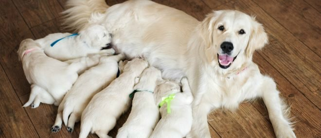 what to feed a nursing dog to produce more milk