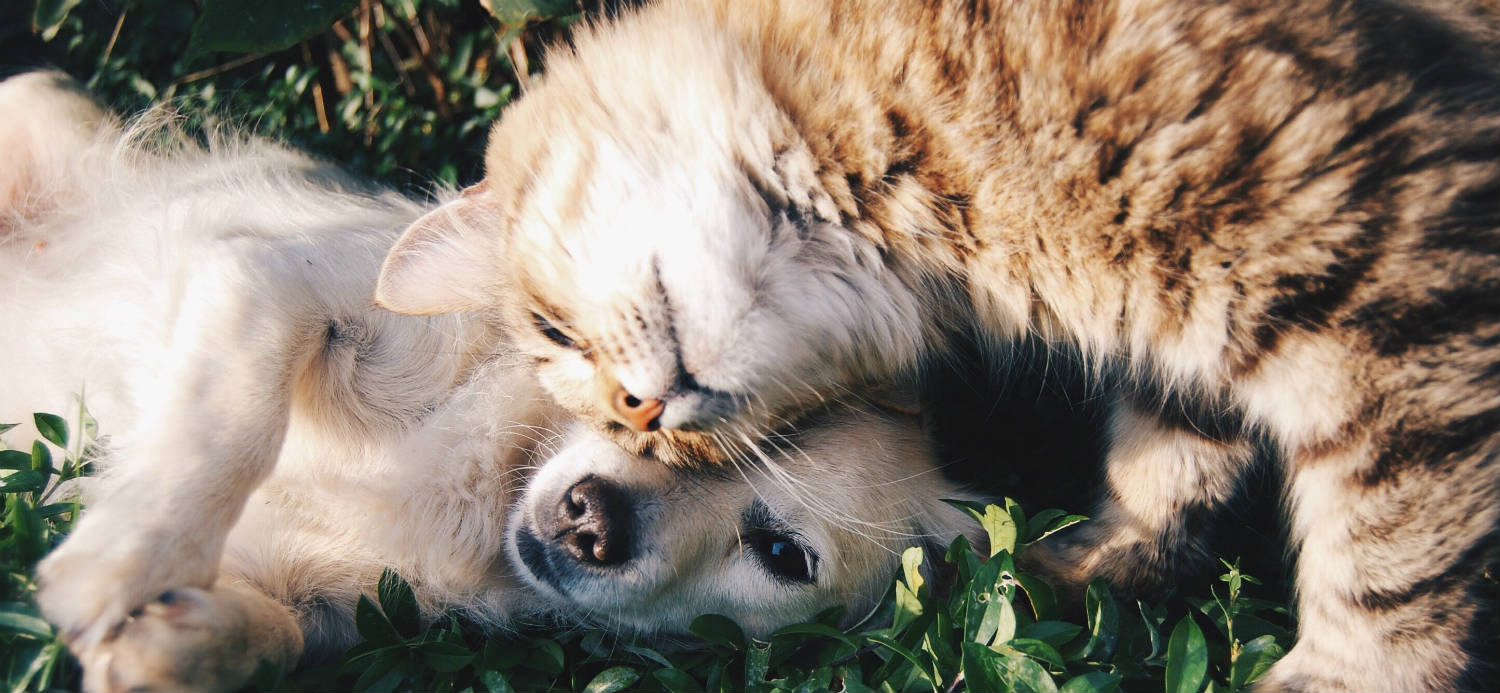 which dog breeds are best with cats